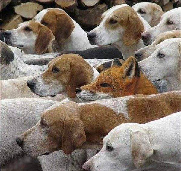 Click image for larger version.  Name:FOX HUNT.jpg Views:7 Size:85.7 KB ID:20481