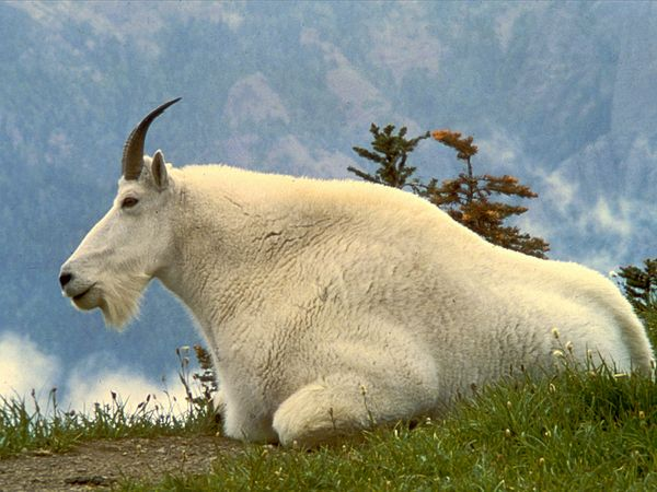 Click image for larger version.  Name:mountain-goat_635_600x450.jpg Views:0 Size:54.5 KB ID:27163